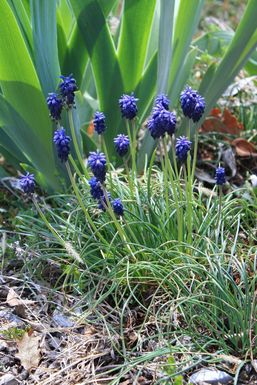 muscari_bouquet_alea.jpg